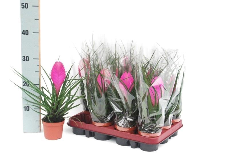 Tillandsia Cyanea D.9CM H:25CM rosa (CAJA DE 18 PLANTAS) - Planta ...