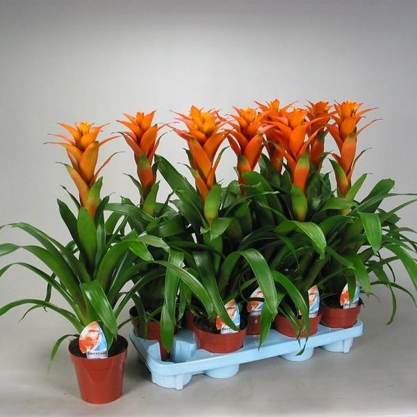 Guzmania hasta la vista h 60cm naranja caja de 6 - Comprar plantas de interior ...