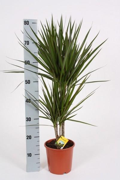 Dracaena marginata h 75cm verde caja de 10 plantas - Comprar plantas de interior ...