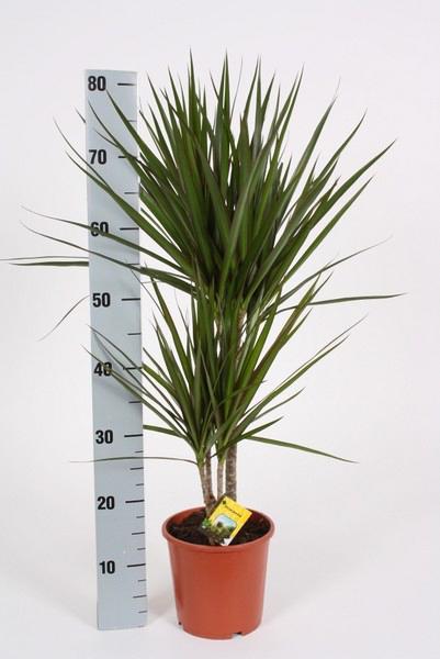 dracaena marginata h 75cm verde 1 unidad planta plantas verdes exterior - Plantas Verdes De Interior