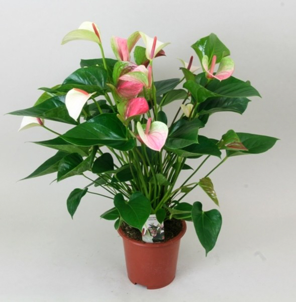 Anthurium h 60cm rosa 1 unidad planta natural for Cuidado plantas interior