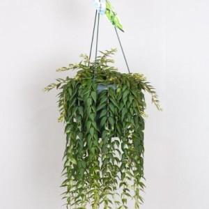 colgantes - Plantas Colgantes Exterior