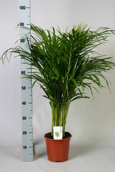 Areca h 90cm verde caja de 7 plantas planta natural - Plantas de interior palmeras ...
