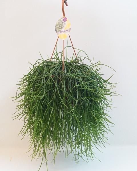 rhipsalis pulchra d21cm h32cm verde caja de 3 plantas - Plantas Colgantes