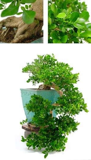 Bonsai Ejemplar Murraya Paniculata 48 Anos Planta Natural
