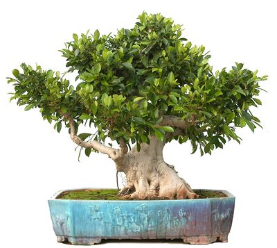 Bonsai ejemplar Ficus retusa (84 años) - Planta Natural