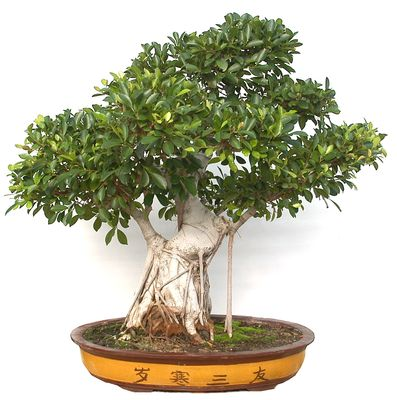 Bonsai ejemplar Ficus retusa (55 años) - Planta Natural